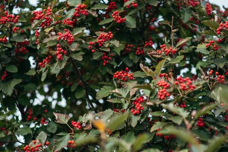 Rowan berries on the branch in the forest. Autumn berries. Bush in September. Early autumn green leaves and berries.