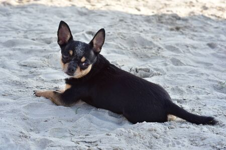 Chihuahua dog breed. portrait of a cute purebred puppy chihuahua at the beach. Stock fotó