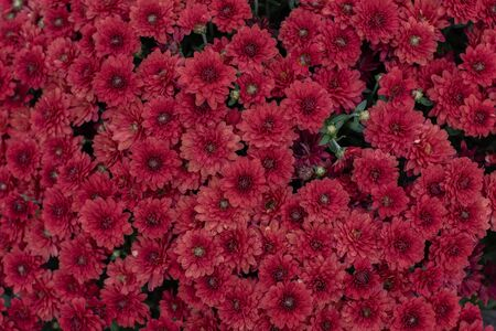 Florists Daisy Chrysanthemum morifolium in garden. Chrysanthemum garden perennial. Autumn flowers of different colors. The basis for designers autumn flowers in the flowerbed Фото со стока - 131659425