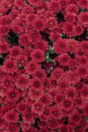 Florists Daisy Chrysanthemum morifolium in garden. Chrysanthemum garden perennial. Autumn flowers of different colors. The basis for designers autumn flowers in the flowerbed Фото со стока - 131659436