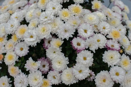 Florists Daisy Chrysanthemum morifolium in garden. Chrysanthemum garden perennial. Autumn flowers of different colors. The basis for designers autumn flowers in the flowerbed Фото со стока - 131659507