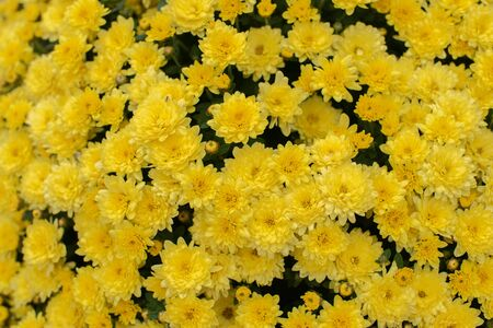 Florists Daisy Chrysanthemum morifolium in garden. Chrysanthemum garden perennial. Autumn flowers of different colors. The basis for designers autumn flowers in the flowerbed Фото со стока - 131659509