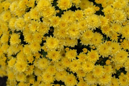 Florists Daisy Chrysanthemum morifolium in garden. Chrysanthemum garden perennial. Autumn flowers of different colors. The basis for designers autumn flowers in the flowerbed Фото со стока - 131659514