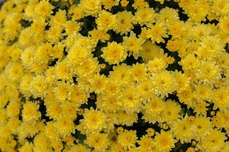 Florists Daisy Chrysanthemum morifolium in garden. Chrysanthemum garden perennial. Autumn flowers of different colors. The basis for designers autumn flowers in the flowerbed Фото со стока - 131659515