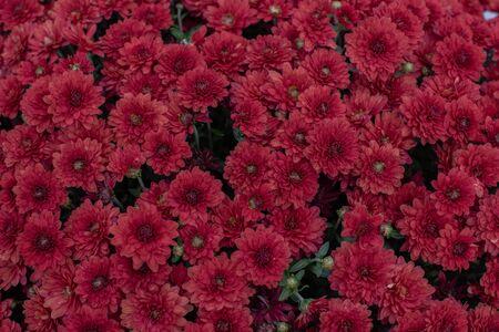 Florists Daisy Chrysanthemum morifolium in garden. Chrysanthemum garden perennial. Autumn flowers of different colors. The basis for designers autumn flowers in the flowerbed Фото со стока - 131659521