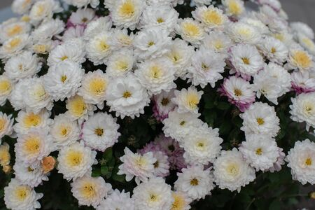 Florists Daisy Chrysanthemum morifolium in garden. Chrysanthemum garden perennial. Autumn flowers of different colors. The basis for designers autumn flowers in the flowerbed Фото со стока - 131659533