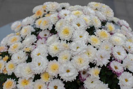 Florists Daisy Chrysanthemum morifolium in garden. Chrysanthemum garden perennial. Autumn flowers of different colors. The basis for designers autumn flowers in the flowerbed Фото со стока