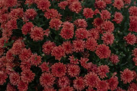 Florists Daisy Chrysanthemum morifolium in garden. Chrysanthemum garden perennial. Autumn flowers of different colors. The basis for designers autumn flowers in the flowerbed Фото со стока - 131659674