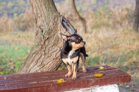 Chihuahua is sitting on the bench. Pretty brown chihuahua dog standing and facing the camera. chihuahua has a cheeky look. The dog walks in the park. Black-brown-white color of chihuahua in the fall Banco de Imagens