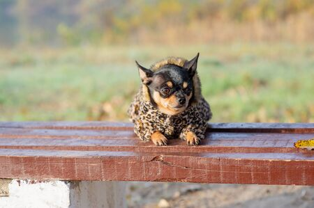 Chihuahua is sitting on the bench.chihuahua dog in clothes standing and facing the camera. chihuahua has a cheeky look. The dog walks in the park. Black-brown-white color of chihuahua in the fall