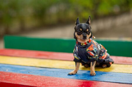 Chihuahua is sitting on the bench. Pretty brown chihuahua dog standing and facing the camera. chihuahua has a cheeky look. The dog walks in the park. Black-brown-white color of chihuahua in the fall Stock Photo