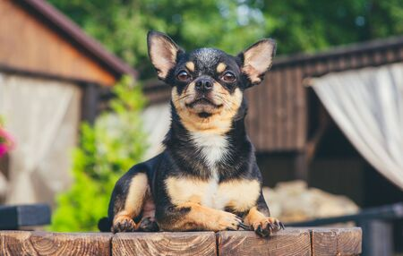 Chihuahua is sitting on the bench. Pretty brown chihuahua dog standing and facing the camera. chihuahua has a cheeky look. The dog walks in the park. Black-brown-white color of chihuahua. dog