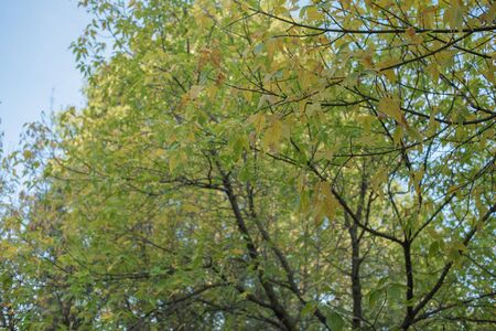 Green leaves on a sunny day early autumn. Green leaves on against the sky, Autumn theme. Fall again. Yellow-green foliage on trees in September. Background for designers autumn colors. Park and autumn