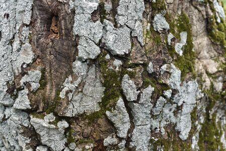 tree bark texture. Vintage Oak Tree Bark. Old oak bark with sunlight Stok Fotoğraf - 132614647