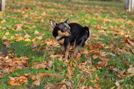 Chihuahua poop. A small dog, a black and brown-white Chihuahua, went for a walk to go to the toilet.Dog pooping on the grass in autumn. The pet knows where to poop. A series of photos with a chihuahua Stock fotó