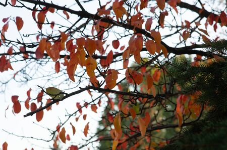 autumn leaves, very shallow focus. Orange leaves in autumn on a tree Stok Fotoğraf - 132615337