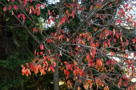 autumn leaves, very shallow focus. Orange leaves in autumn on a tree