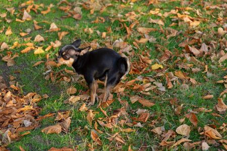 Chihuahua poop. A small dog, a black and brown-white Chihuahua, went for a walk to go to the toilet.Dog pooping on the grass in autumn. The pet knows where to poop. A series of photos with a chihuahua Stock fotó - 132615340