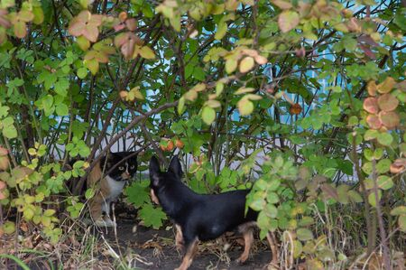 adorable chihuahua dog and kitten posing together outdoors. Tricolor black-white-red-haired cat and chihuahua dog