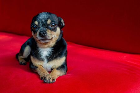 Chihuahua on the sofa. chihuahua dog on a red sofa. The pet lies on the sofa in the daylight from the window. Black-brown-white chihuahua dog resting in the Kremlin or on the sofa at home. chihuahua