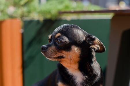 Pet dog Chihuahua walks on the street.