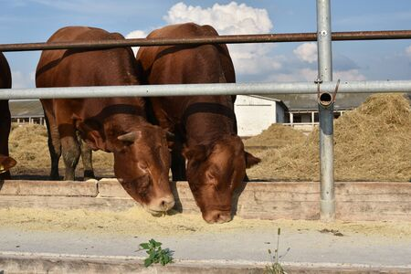 Limousine bulls on a farm. Limousine bulls spend time on the farm. Bulls eat and stand in the pen. A series of photos with red and black bulls in the summer. Ranch. Bulls eating bran with wheat