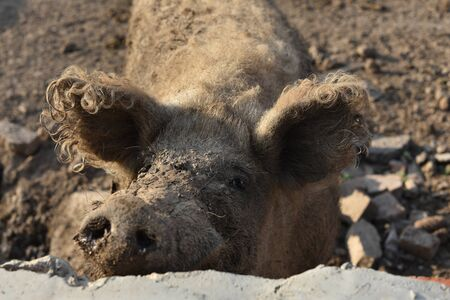 Happy pig rolling in mud.Mangalitsa The Woolly Sheep-Pig, healthy environment and organic food production.Domestic pigs feeding in mud.Mangalitsa in sand.Free-range, outdoors, they have a decent life Stock Photo