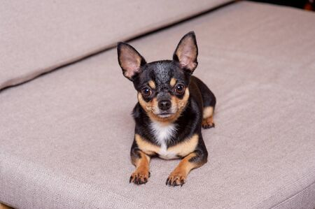 Mini black beige white chihuahua on grey sofa. black brown white chihuahua. A pet is sitting at home on the couch. Mini Chihuahua breed in an armchair or sofa. Well-groomed thoroughbred dog Stock fotó