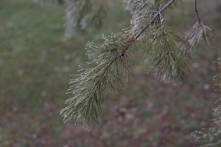 Christmas evergreen spruce tree with frost on white, holiday background. Pine branch on hoarfrost. Winter photo of trees. Blank for designers. Spruce or pine branch under hoarfrost or snow in winter