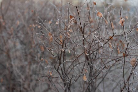 Bush branches without leaves are covered with ice. Bush under hoarfrost. Winter photo