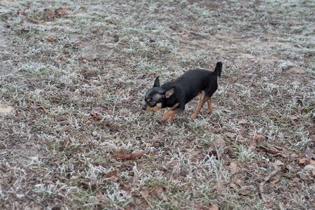 Dog walks in the Park in winter. chihuahua on a walk in winter. Pet dog Chihuahua walks on the street. dog for a walk. Chihuahua black, brown and white. Dog walks in the garden or in the park