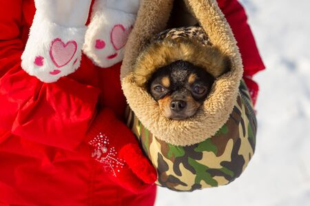 Dog in bag. Chihuahua in a carrying bag for dogs in winter. Chihuahua in winter clothes in the snowy season. A black-brown-white chihuahua peeps out of a bag for dogs. Portrait of a dog. Chihuahua.Pet