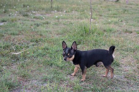 Chihuahua is sitting on the bench. Pretty brown chihuahua dog standing and facing the camera.chihuahua has a cheeky look. The dog walks in the park. Black-brown-white color of chihuahua.Fall or summer