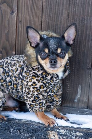 small dog jacket cold in the winter. Chihuahua in winter clothes on a background of snow. Chihuahua. Dog on a walk in the winter. A lot of snow and a dog. Eco fur coat for dogs. Black brown white dog Stock fotó