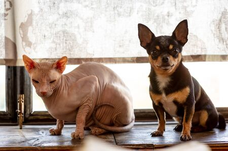 Chihuahua and the Canadian sphynx. Pets know how to be friends. Pink to sphinx and black-brown-white puppy. pets. Cheeky cat and brave dog