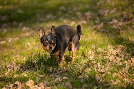 chihuahua dog defecated in field of grass. Chihuahua poop