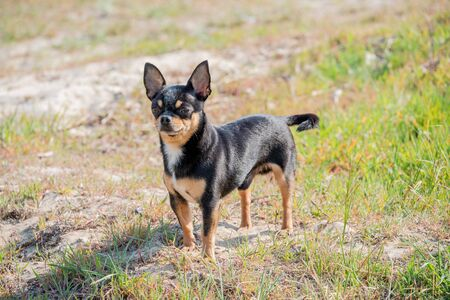 Pet dog walks on the street. Chihuahua dog for a walk. Chihuahua black, brown and white. Cute puppy on a walk. Dog in the garden or in the park Well groomed dog Chihuahua mini smooth haired