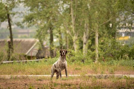 A very active dog. Deutsch Kurzhaar German Short-haired Pointing Dog. Kurzhaar is a slender and even lean dog. Colors of several large uneven spots scattered on the back, legs and stomach