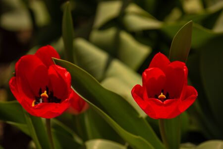 Bunch of beautiful spring flowers - colorful tulips. Tulips, spring. Nature in the spring. Flowers are blooming. Red Tulips, close up, and lit by sunshine