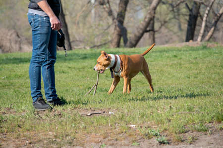 American Staffordshire Terrier in a green grass lawn. Breed American Staffordshire Terrier. Dog on a walk. Puppy Stok Fotoğraf