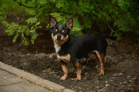 Pet dog walks on the street. Chihuahua dog for a walk. Chihuahua black, brown and white. Cute puppy on a walk. Dog in the garden or in the park Well groomed dog Chihuahua mini smooth haired Stock fotó