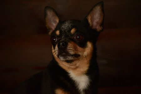 Small dog sitting on wooden chair. Chihuahua dog on a wooden background. Black-brown-white chihuahua on a wooden. Stock fotó