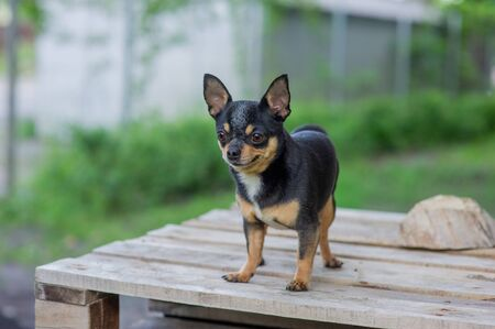 Chihuahua is sitting on the bench. Pretty brown chihuahua dog standing and facing the camera. chihuahua has a cheeky look. The dog walks in the park. Black-brown-white color of chihuahua.dog