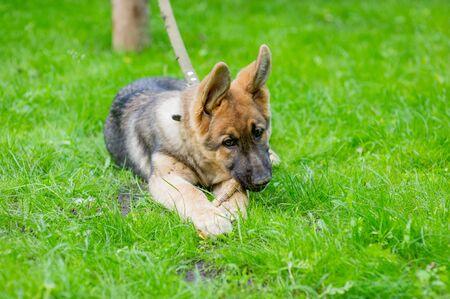 Shepherd Portrait. A cute east european shepherd dog. Puppy on grass. Pet on a leash. Dog walk