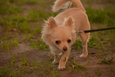 Chihuahua longhaired dog portrait. Beautiful white long-haired chihuahua breed dog walks in tall green grass. Animal portrait.