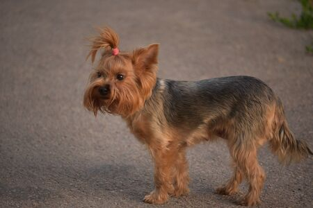 Yorkshire Terrier walking in the park on a sunny summer day. Dog on a walk. Yorkshire terrier on the background of asphalt. Pet for a walk