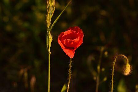 Red poppy. Red poppy at sunset. Spring Flower. Nature. Flower shot at sunset