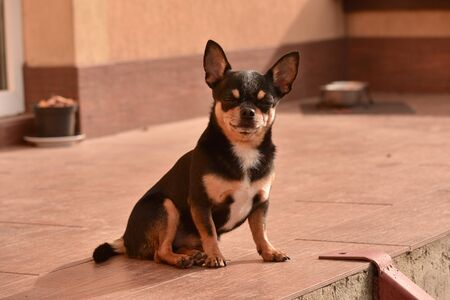 Chihuahua sitting on the doorstep. A small chihuahua dog sitting on the street by a doorway. Small breed of dog Shorthair. Dog at home