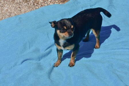 chihuahua dog resting on blue towel. Chihuahua on the beach on a towel. Dog and rest. Concept summer vacation beach sea. Stock fotó - 149481455