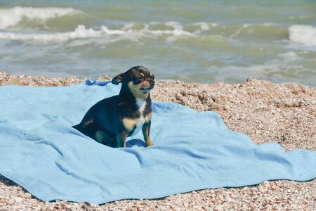 chihuahua dog resting on blue towel. Chihuahua on the beach on a towel. Dog and rest. Concept summer vacation beach sea. Stock fotó - 149486159